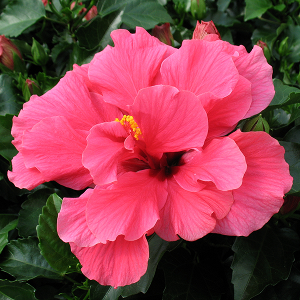 'Classic Rosa' Doubleflower Hibiscus Hawaii