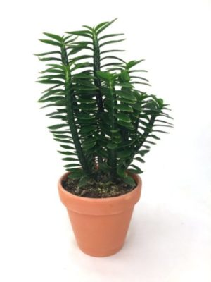 Euphorbia Pedilantus 'Devils Backbone' w/clay pot