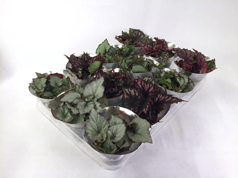 Mini Begonia Rex Mix 6 cm in floracup