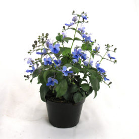 Clerodendrum ugandense -  'Blue Wing '