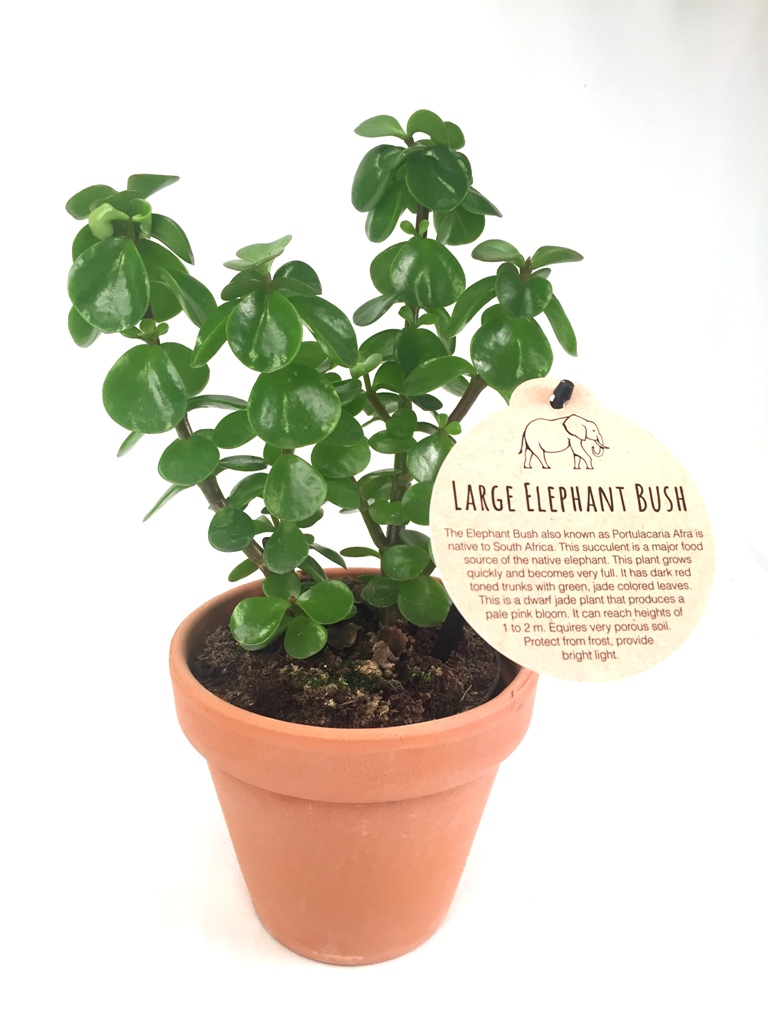 Large Elephant Bush 12 cm w/clay pot