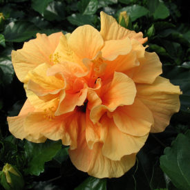 'Classic Apricot' Doubleflower Hibiscus Hawaii