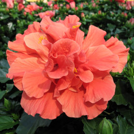 'Classic Red' Doubleflower Hibiscus Hawaii