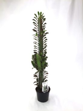 Euphorbia Trigona Red, 12 cm pot