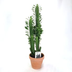 Euphorbia Trigona Green, bushy w/clay pot 13,5 cm