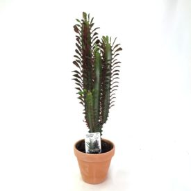 Euphorbia Trigona Red, bushy w/clay pot 13,5 cm