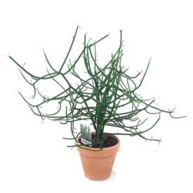Euphorbia Tirucalli 'Pinde' w/clay pot 13,5 cm