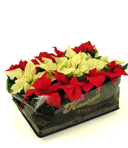 Mix Euph. Poinsettia Mini 6 cm