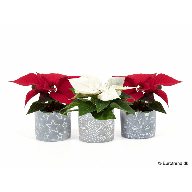 Mini Euph. Poinsettia with ceramic E 3036