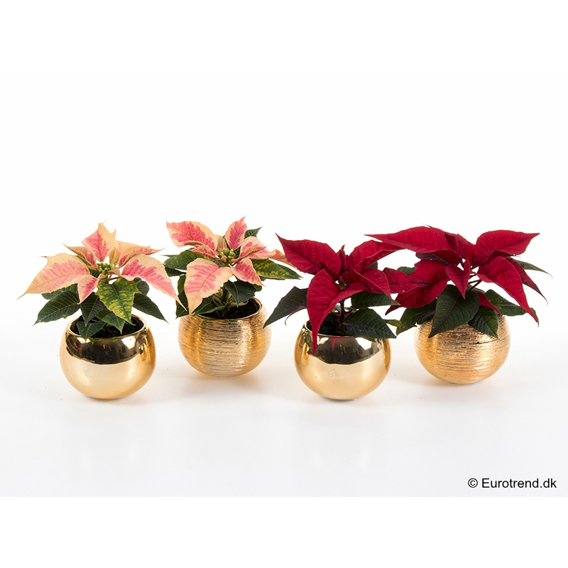 Mini Euph. Poinsettia with ceramic E 3094