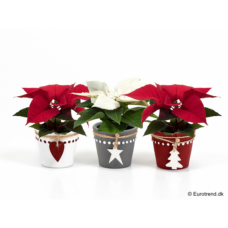Mini Euph. Poinsettia with ceramic E 3140