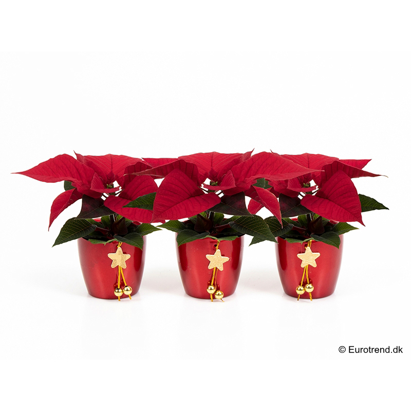 Mini Euph. Poinsettia with ceramic E 3178
