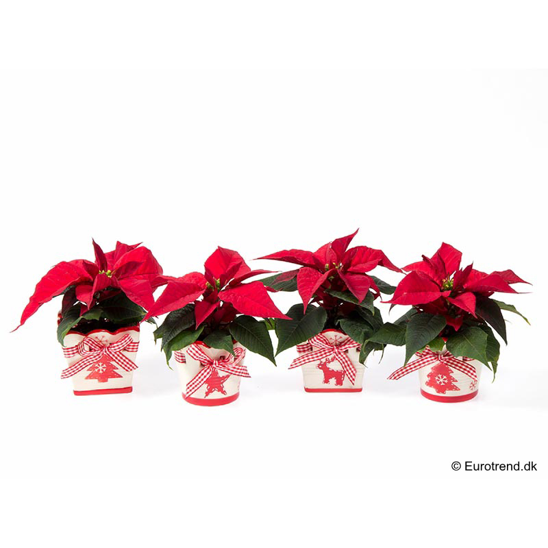 Mini Euph. Poinsettia with ceramic E 3212