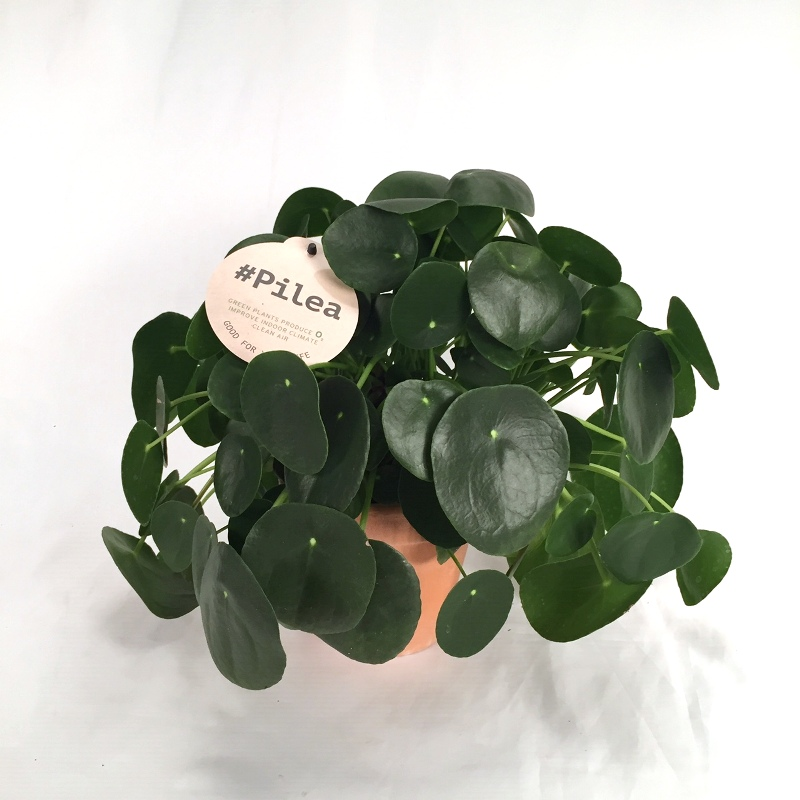 Exclusive Pilea Peperomioides 12 cm