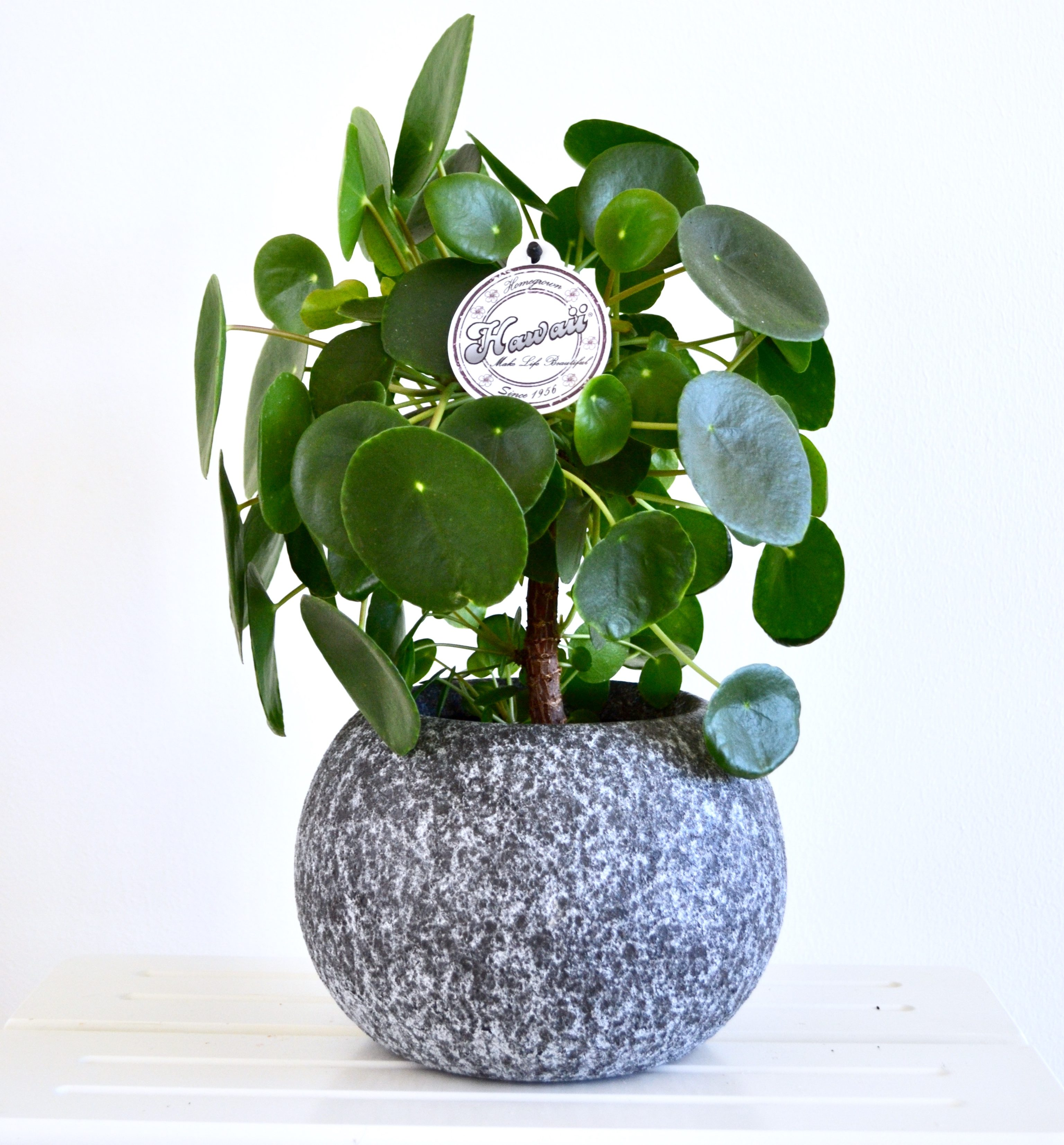 Pilea on stem