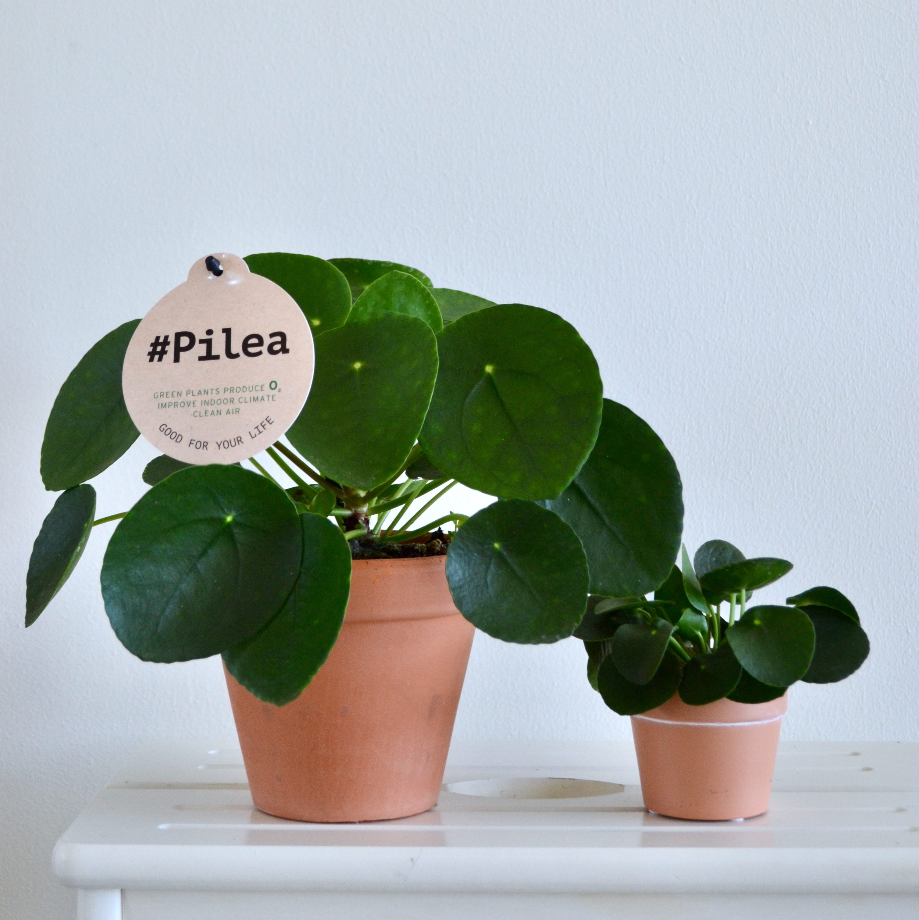 Pilea in claypot