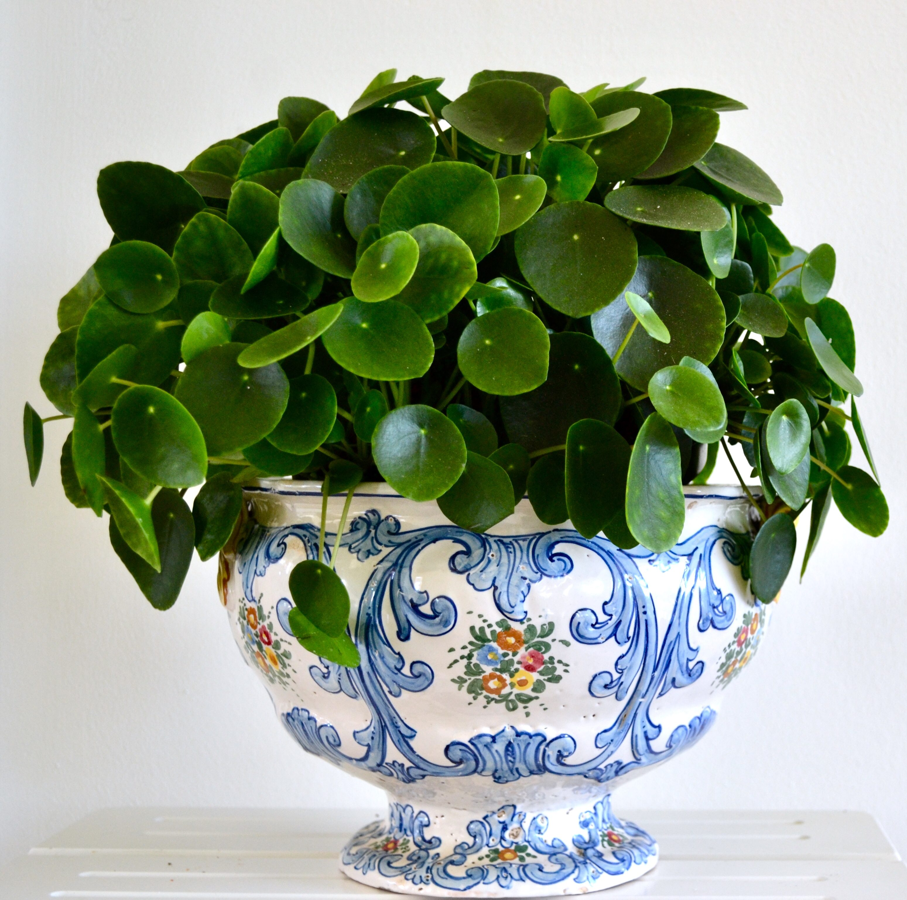 XL Pilea in old German pot